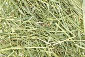 Foin timothy hay