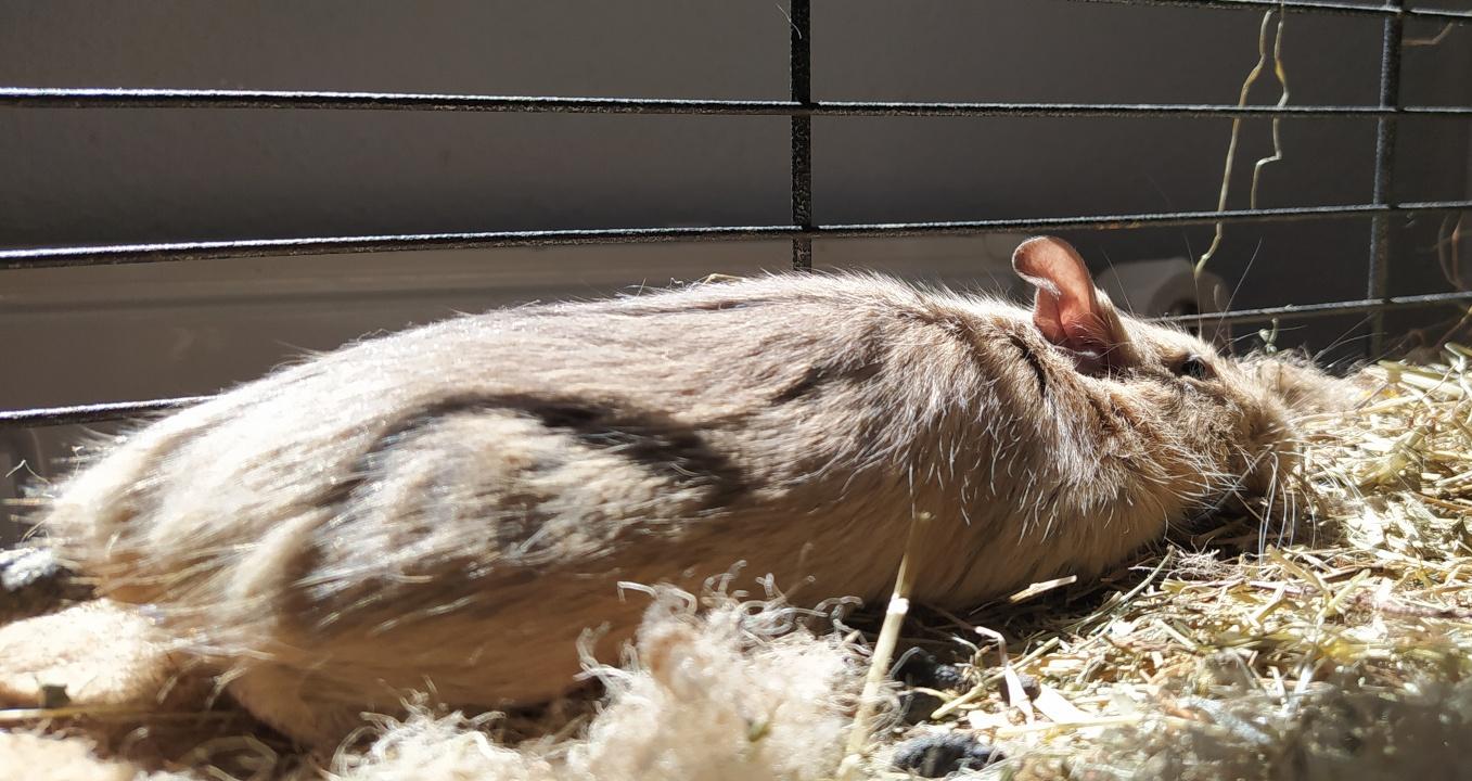 Octodon degus qui se dore au soleil