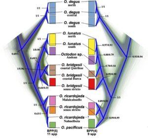 Classification octodon
