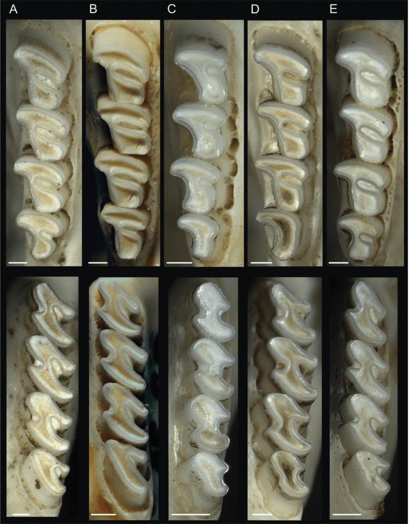 Molar - species of genus octodon