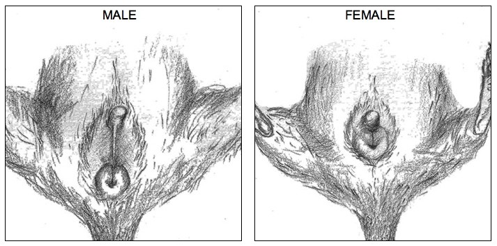 Distinction de sexe entre un octodon mâle et un octodon femelle